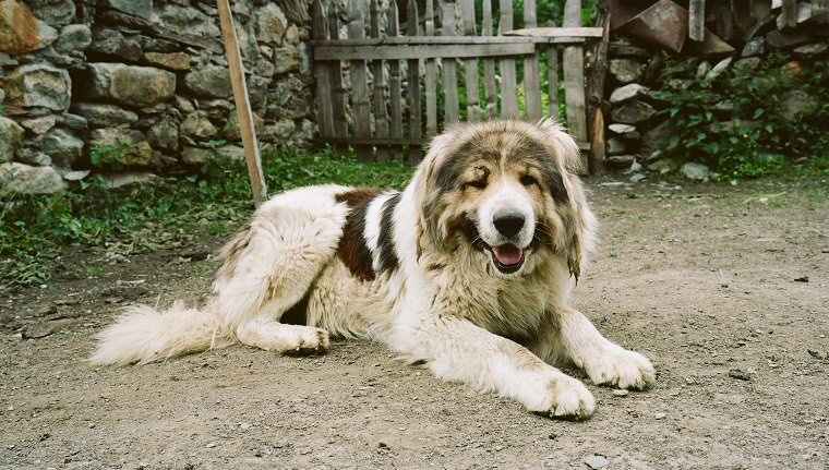 Largest-Dog-Breeds